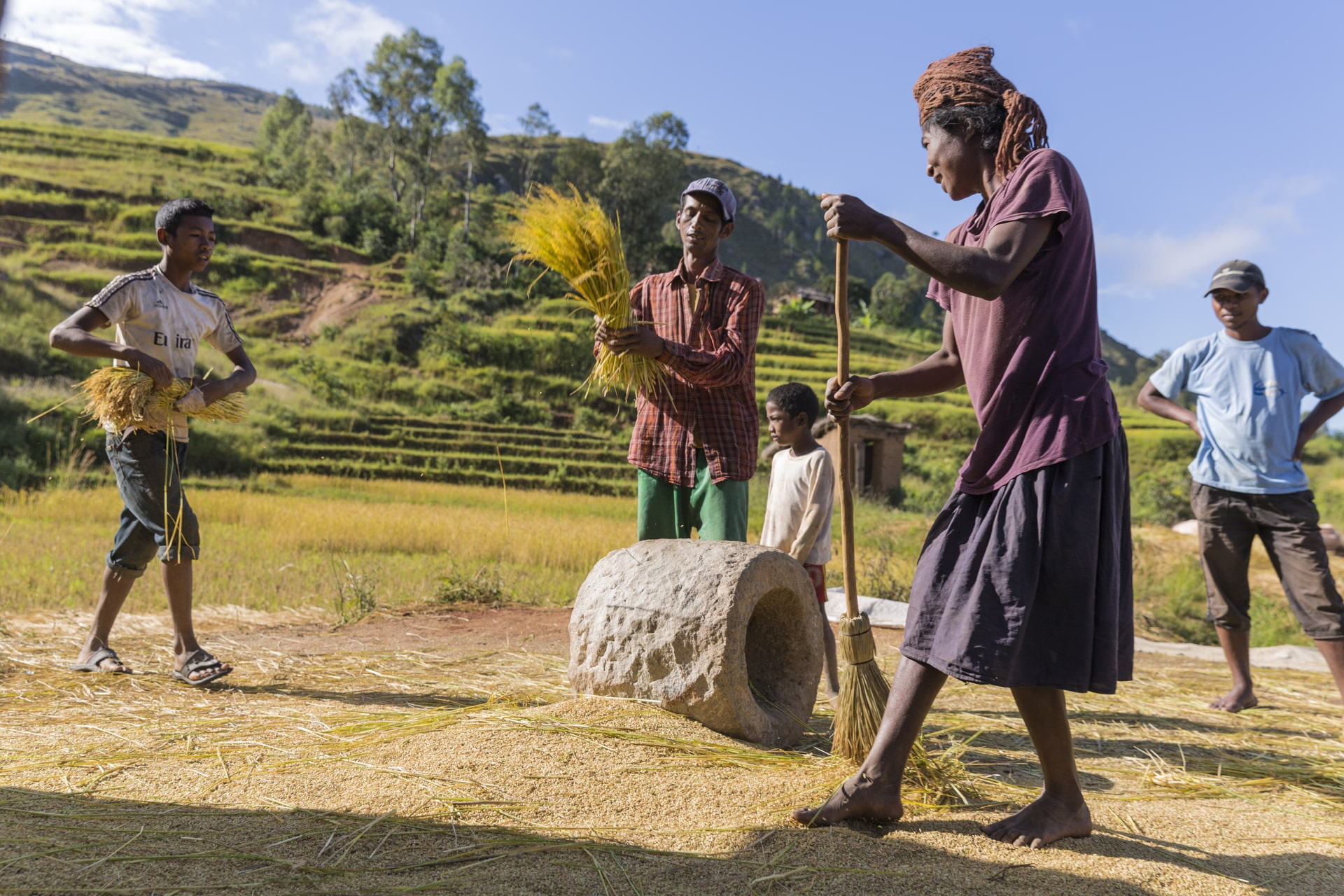Rice is threshed by hand after harvesting.